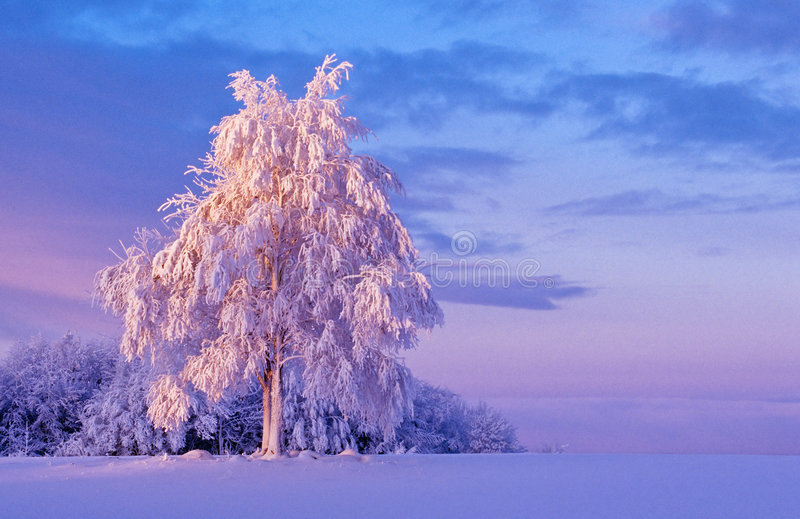 snöig tree för gryning arkivfoto