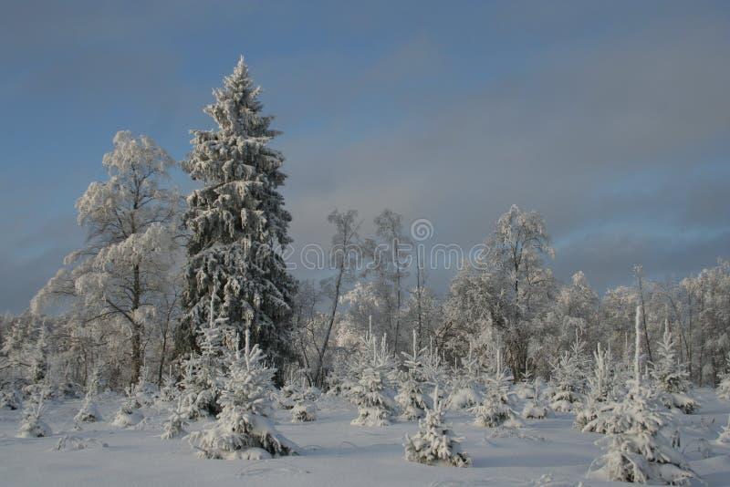 Snöig trees i vinter royaltyfria bilder