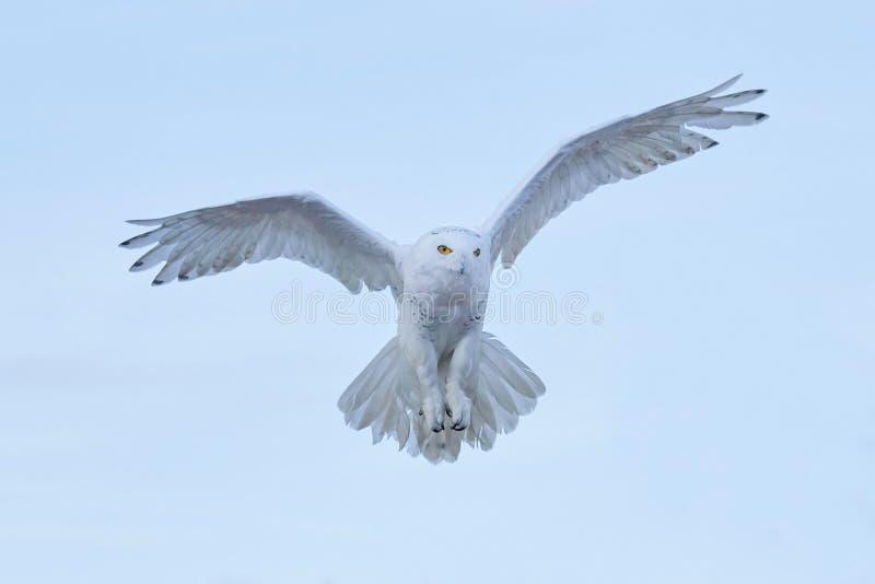 Snöig uggla, Nyctea scandiaca, flyg för sällsynt fågel på himlen, vinterhandlingplats med öppna vingar, Grönland royaltyfria foton