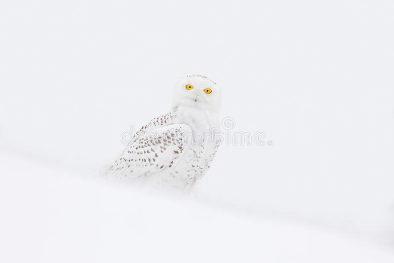Snöig uggla, Nyctea scandiaca, sammanträde för sällsynt fågel på snön, vinterplats med snöflingor i vind royaltyfria foton