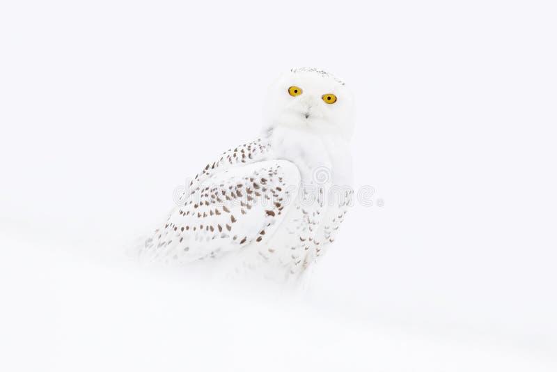 Snöig uggla, Nyctea scandiaca, sammanträde för sällsynt fågel på snön, vinterplats med snöflingor i vind, Manitoba, Kanada royaltyfri fotografi