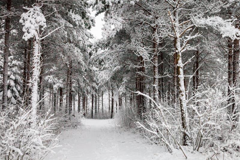 Snöig väg till och med den vintriga skogen royaltyfria foton
