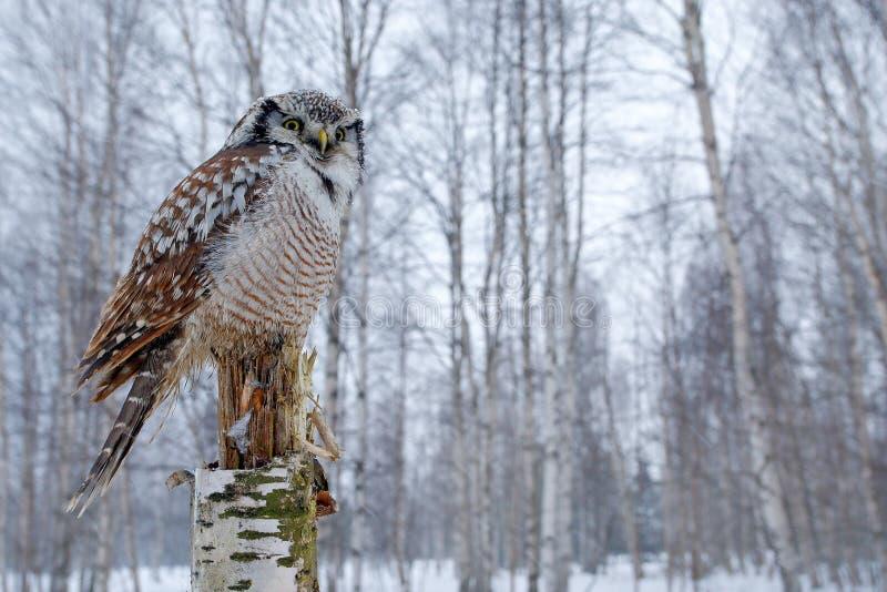 Snöig vinterplats med hökugglan, Surniaulula Hawk Owl i naturskoglivsmiljö under kall vinter Djurlivplats från naturen royaltyfria bilder
