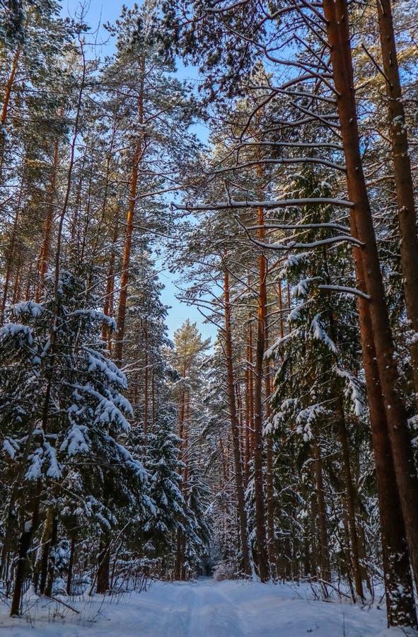 Snöig vinterskog i en solig dag Vit snöbana Snö-täckte träd på en bakgrund av blå himmel arkivfoton