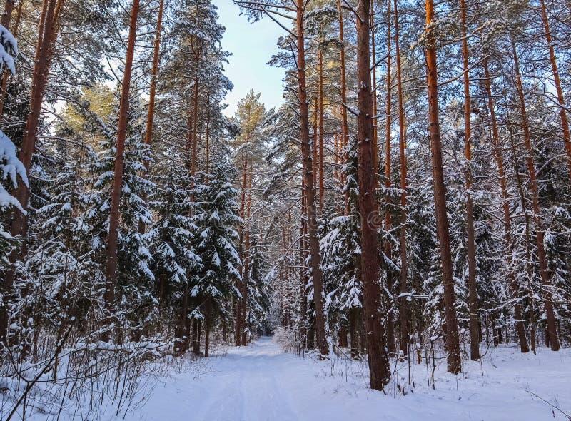 Snöig vinterskog i en solig dag Vit snöväg och snö-täckte träd royaltyfri fotografi