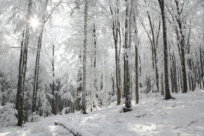 Snöig vinterskog som tänds av morgonsolen arkivbilder