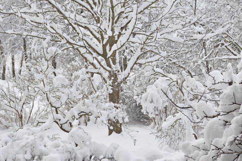 Snöig vinterträd, ny ny snö täckte trädgården, lila filialer efter häftig snöstormsnöstorm, drivor för tungt snöfall, åtskilligt  royaltyfria foton
