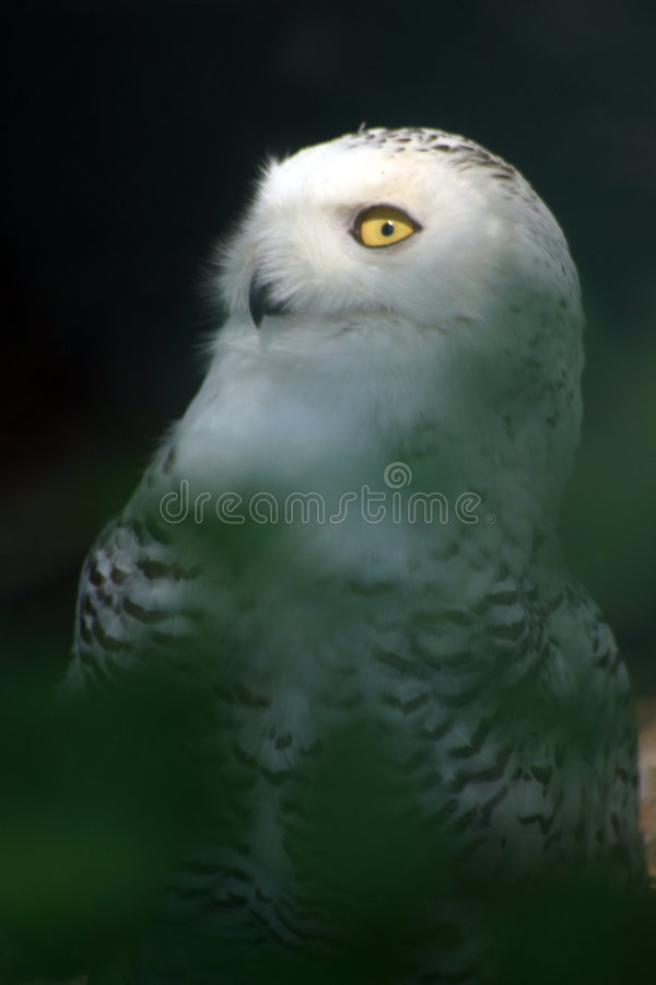 snöig white för 2 owl arkivbilder