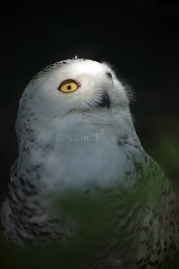 snöig white för 4 owl arkivbilder