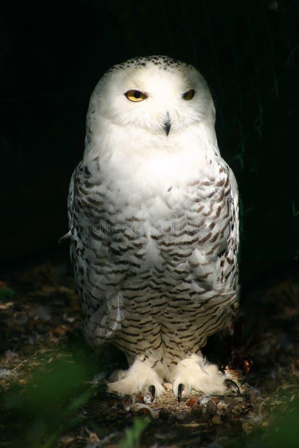 snöig white för 6 owl arkivfoto