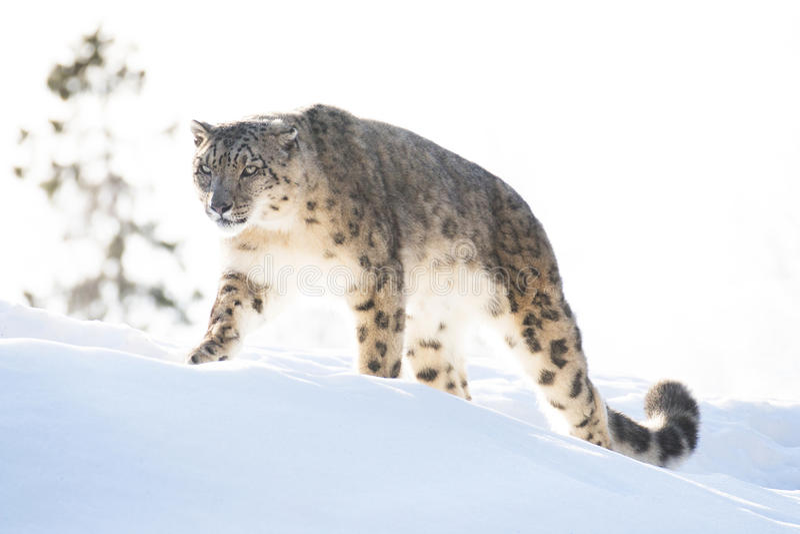 Snöleopard i vintern royaltyfri bild