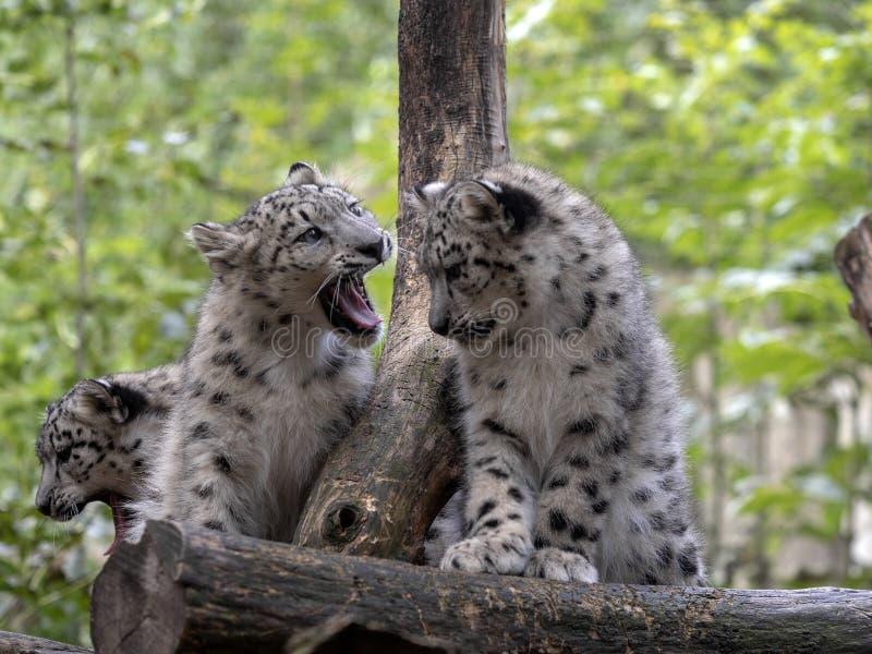 Snöleopard, Uncia uns, fågelungar fotografering för bildbyråer