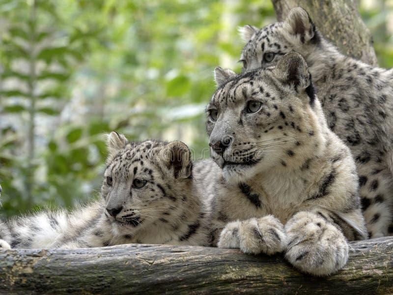 Snöleopard, Uncia uns, kvinnlig med fågelungar royaltyfri bild