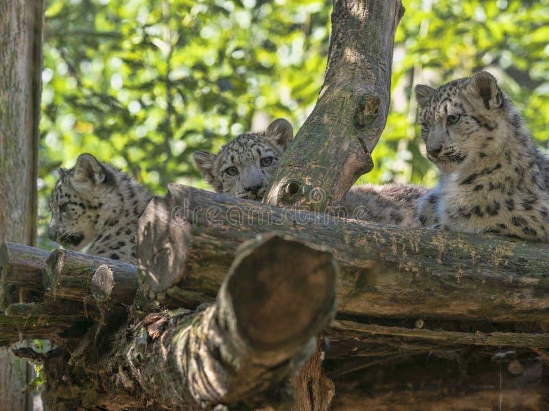 Snöleopard, Uncia uns, kvinnlig med fågelungar royaltyfri fotografi
