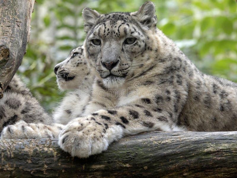 Snöleopard, Uncia uns, kvinnlig med fågelungar royaltyfri foto