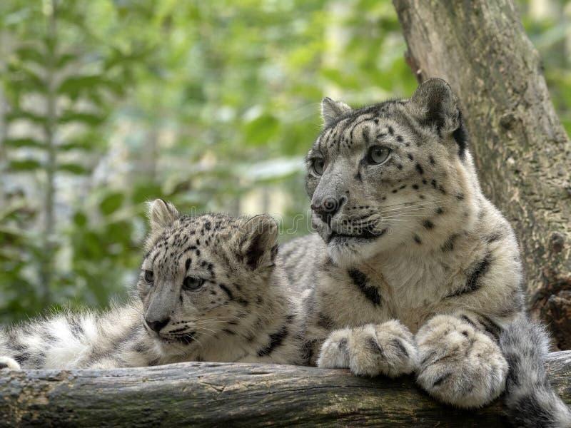 Snöleopard, Uncia uns, kvinnlig med taxiar arkivfoton