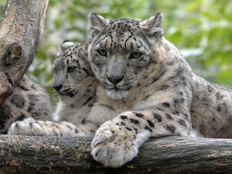 Snöleopard, Uncia uns, kvinnlig med taxiar fotografering för bildbyråer