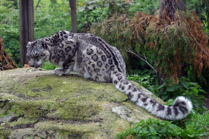 Snöleoparden som huka sig ned på henne, vaggar arkivbilder
