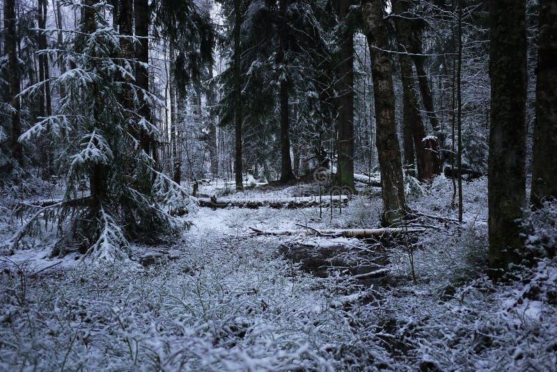 Snönedgångar i skogen med träd Intensiv snö täcker ögonblickligen yttersidan av skog- och trädfilialerna med ett lager av sno royaltyfri foto