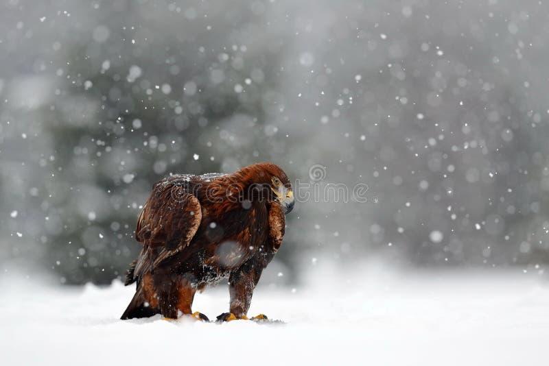 Snövinter med örnen Fågel av rovet guld- Eagle med byteharen i vinter med snö Djurlivplats från den Norge naturen Fågelmatning royaltyfria bilder