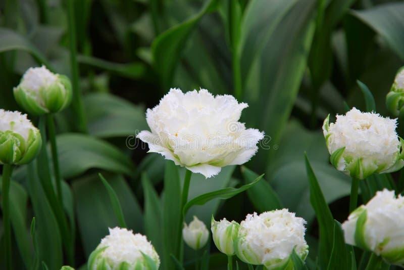 Snövit tulpan som växer i blomsterrabatten i trädgården på en bakgrund av grön lövverk arkivbild