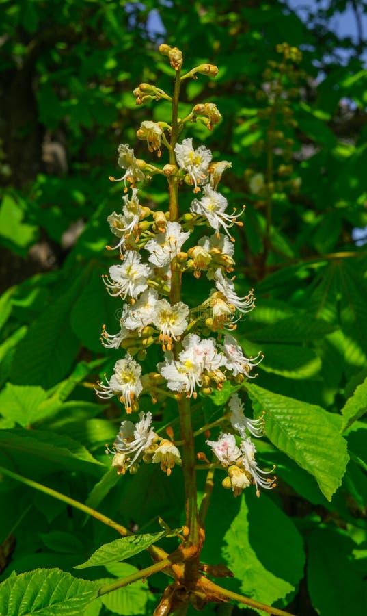 Snövita pilar av att blomstra kastanjebruna blommor på ett träd kastanjebrun blomning arkivbild