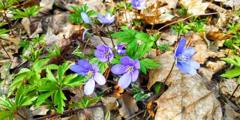 Sn?droppar i de bl?a sn?dropparna f?r skog i v?r n?ra de torra sidorna bl?a blommor royaltyfri fotografi