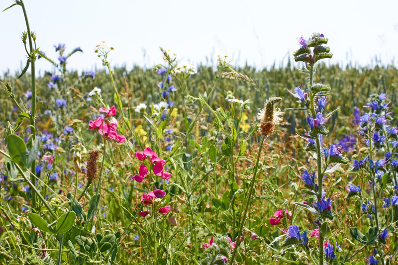 Snabb blomning av brokiga lösa växter för variation arkivbilder