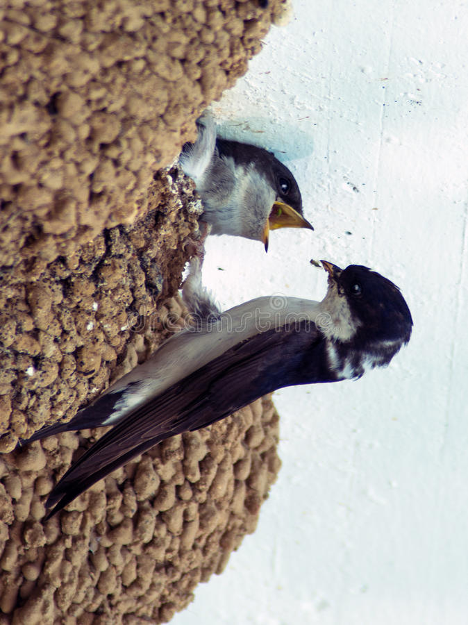 Snabb matande fågelunge royaltyfri fotografi