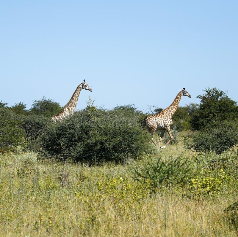 Snabb resa av giraff som kör arkivfoton