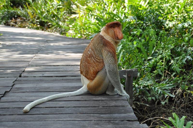 Snabelapa på Borneo royaltyfri fotografi