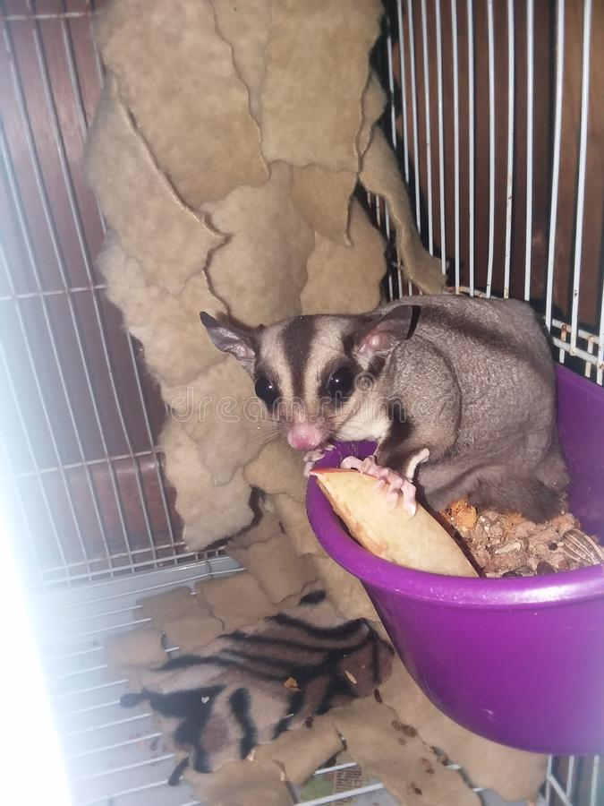 Snacking de Sugar Glider imagem de stock