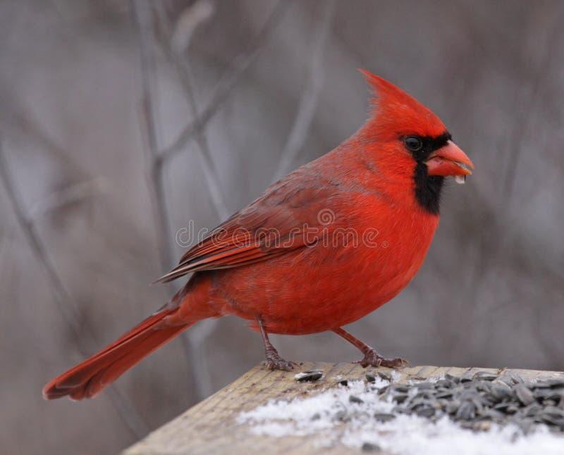 Snacking Northern Cardinal royalty free stock photos