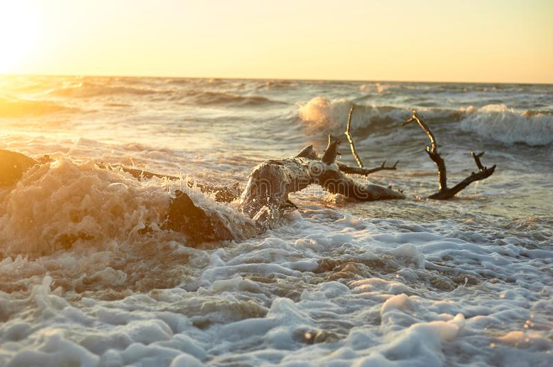 The snag that washed up on the shore.A large tree trunk, the high waves . Storms. Golden sunset. The snag that washed up on the shore. A large tree trunk, the stock photos