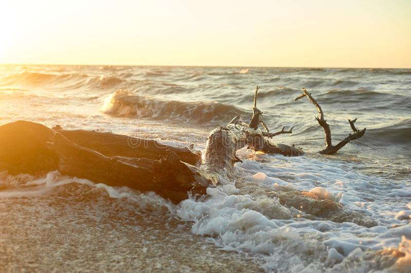 The snag that washed up on the shore.A large tree trunk, the high waves . Storms. Golden sunset. The snag that washed up on the shore. A large tree trunk, the royalty free stock images