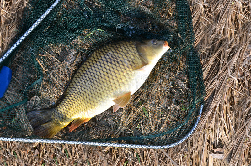 Snagged carp in landing net in sunshine, dry grass in background stock image