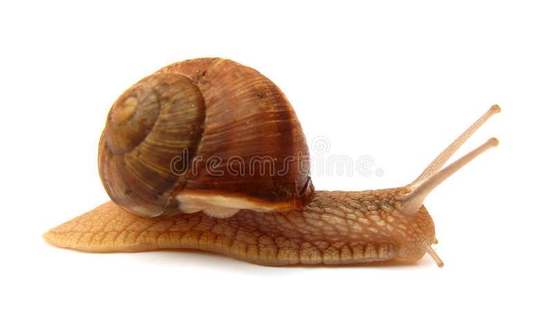 Download Snail Stock Photo - Image: 10409550