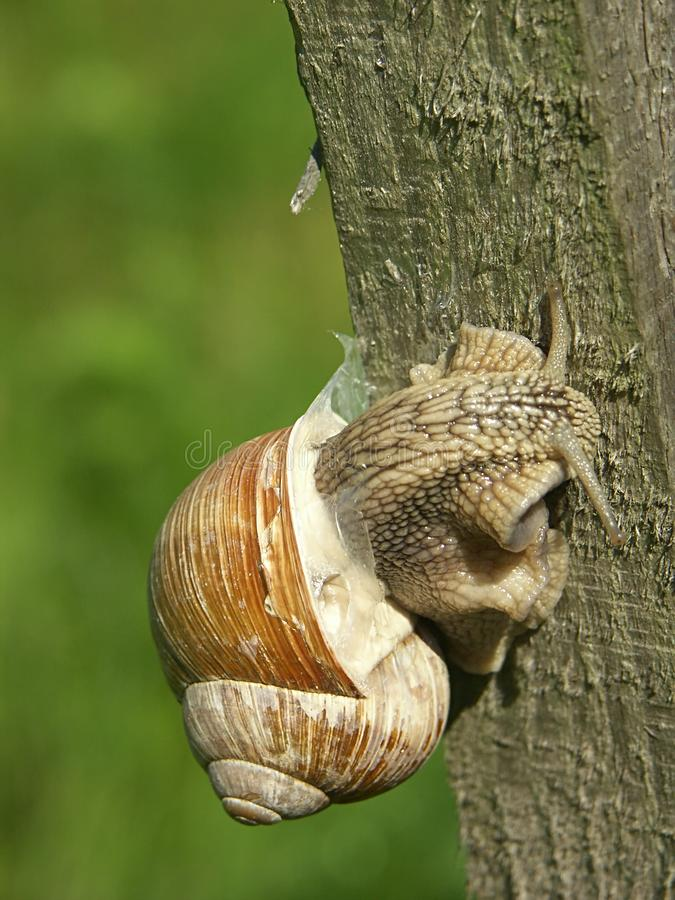Snail Free Stock Image