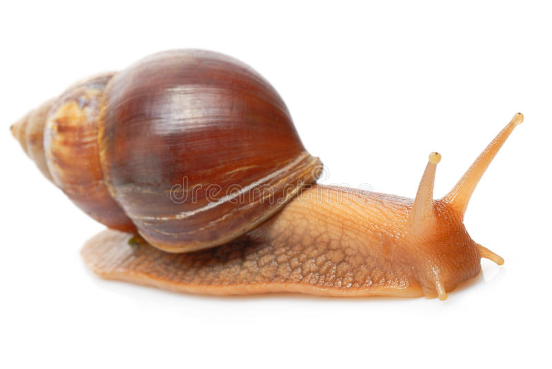 Download Snail stock photo. Image of nature, curiosity, invertebrate - 22101410
