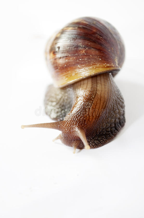 Download Snail stock photo. Image of yuck, escargot, home, slow - 25226842