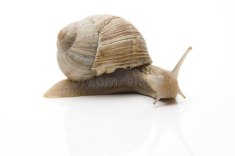 Snail. With shell on white background royalty free stock photo