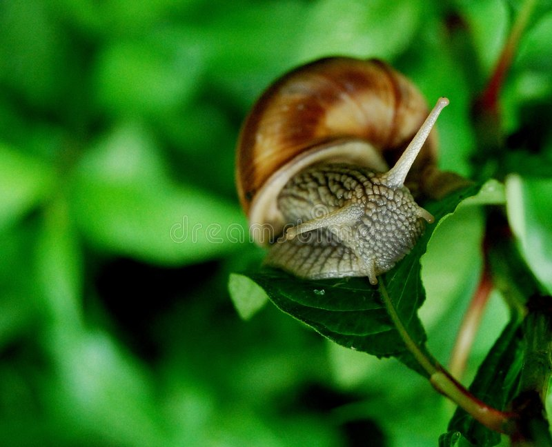 Snail. Wet snail resting on a leaf on a green vegetation background royalty free stock images
