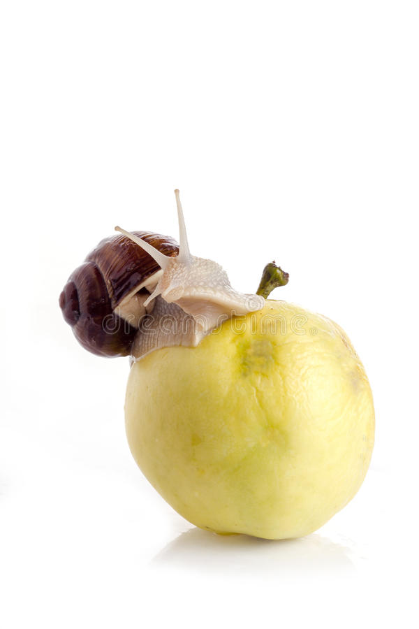 Snail on an apple. Garden snail on an apple with a white background stock photography