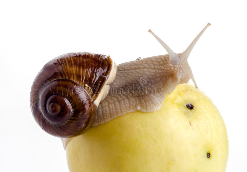 Snail on an apple. Garden snail on an apple with a white background stock photo