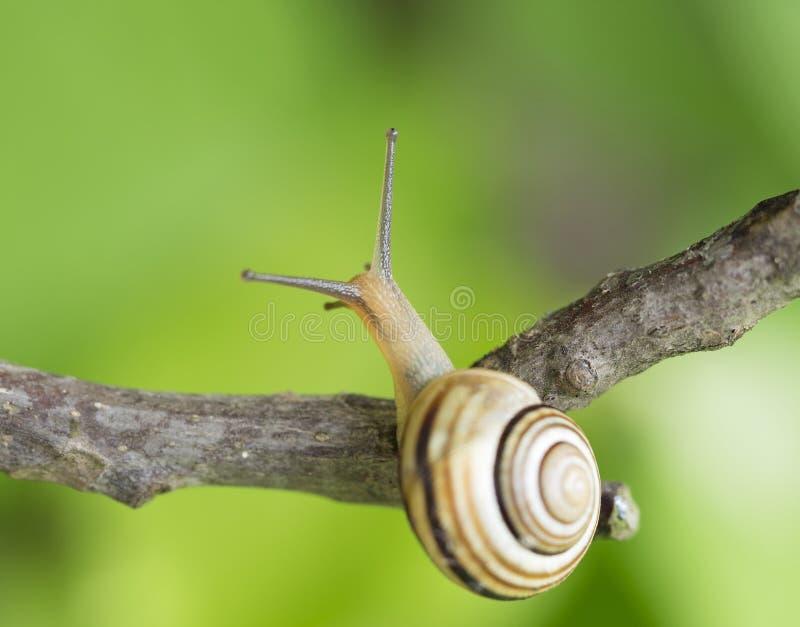 Snail on a branch stock photos
