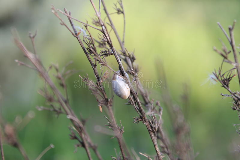 Snail on branch. A simple snail resting on a branch, spring has arrived and these little things are precious stock photos