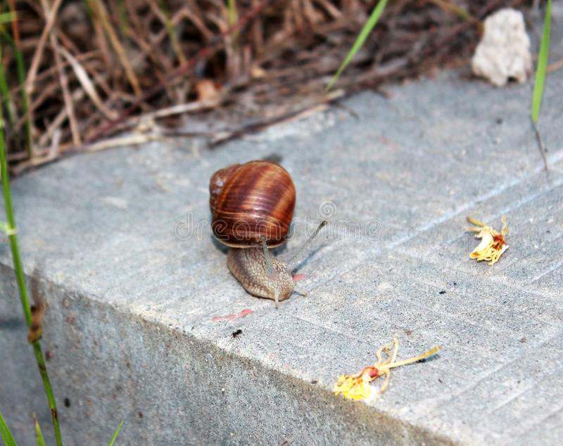Snail with a brown shell crawling on the steps. royalty free stock photography