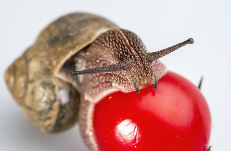 Snail on cherry tomatoes 04 royalty free stock photos