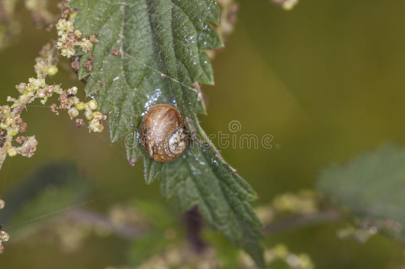 Snail climbing up a leaf nettle stock image