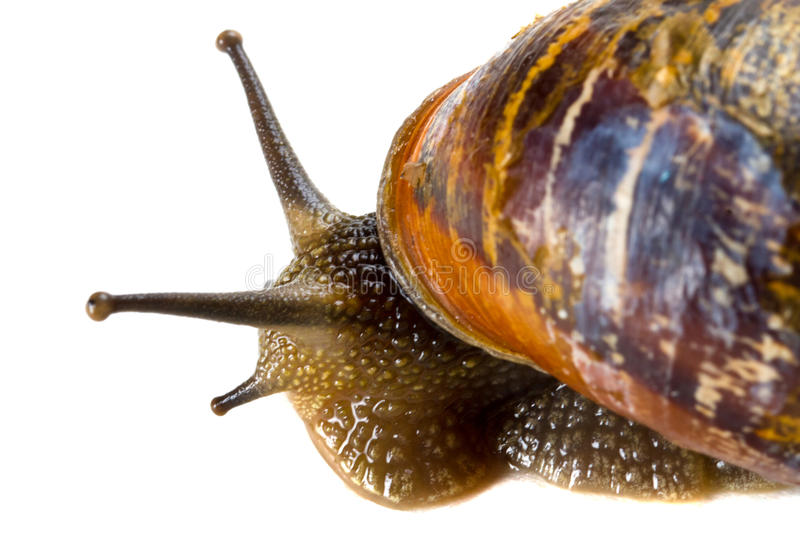Download Snail close up stock photo. Image of moisture, background - 25128092